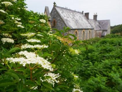 Elderflowers in situ