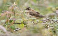 Sedge Warbler fledgling