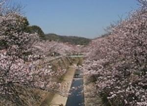 妙法寺川公園の桜トンネル