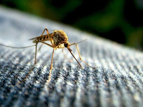 Mosquito ! Mosquito ! Mosquito !