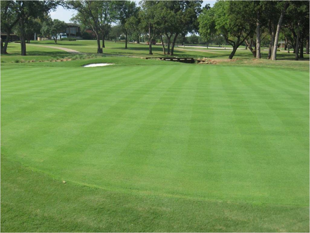 Image result for bentgrass golf greens