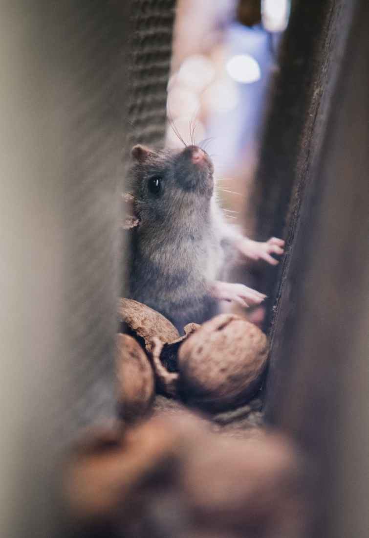 Bentley Environmental - Rodent Control in Winchester & Andover