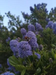 Bumblebee Collecting Pollen, Bentley Environmental