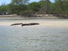 Crocs basking in the sun