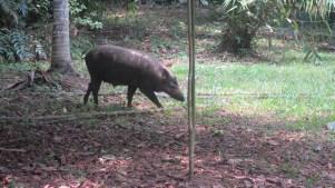 wild boar Ubin Island