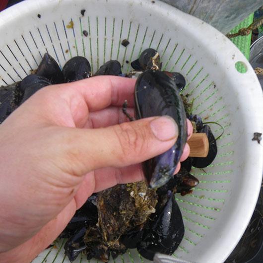 石鯛 カラス貝