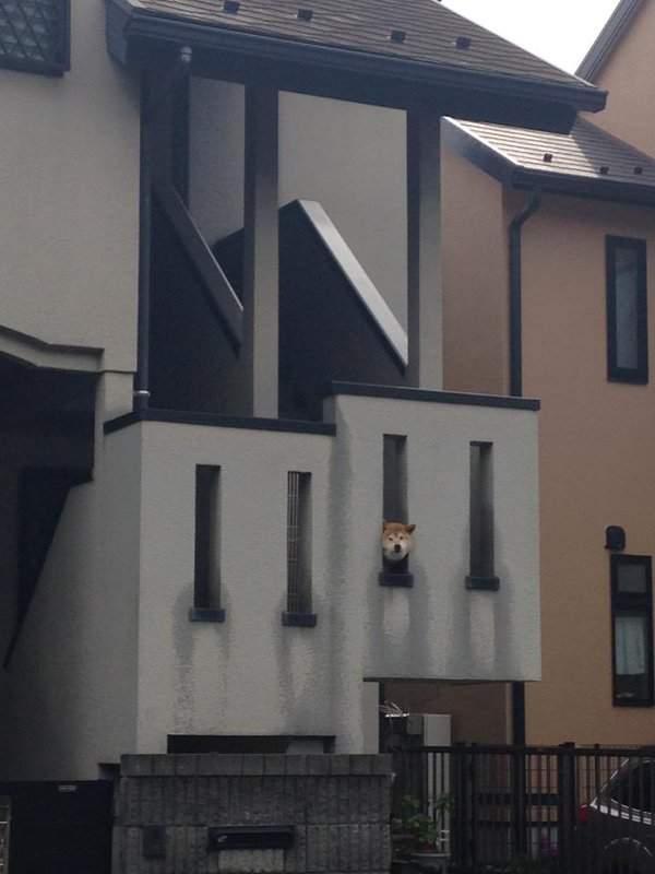 一次三隻鑽牆壁洞的柴犬網民大叫kawaii! (2)