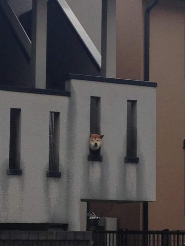 一次三隻鑽牆壁洞的柴犬網民大叫kawaii! (3)