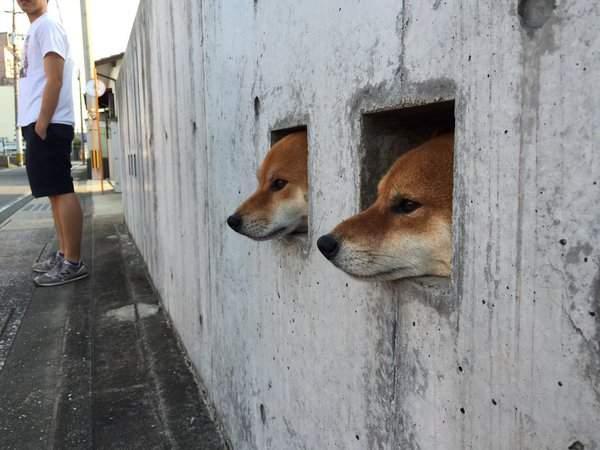 一次三隻鑽牆壁洞的柴犬網民大叫kawaii! (4)