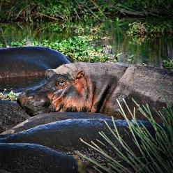 Muddy hippos