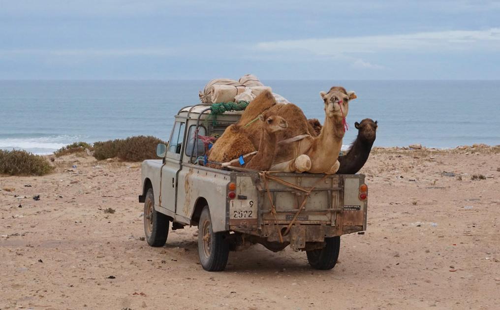 Kameltransport in der Westsahara