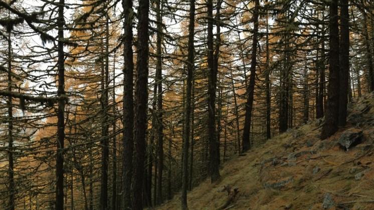 Herbststimmung im Lärchenwald