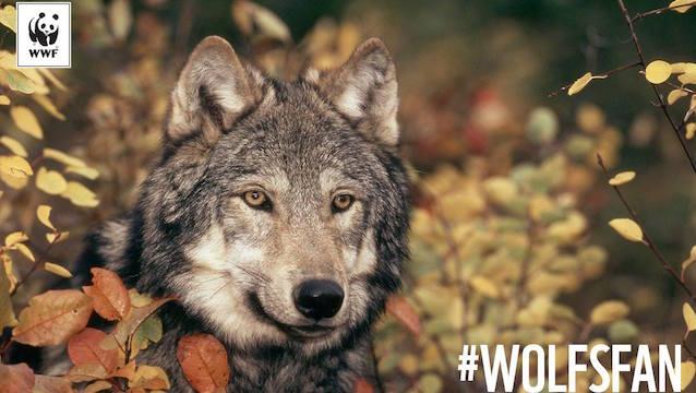 Wolf wird zum Abschuss freigegeben