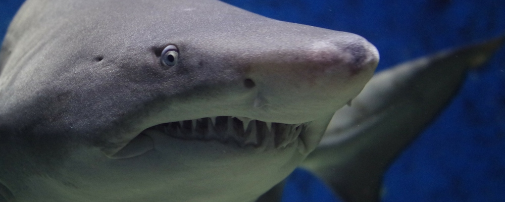 shark_page