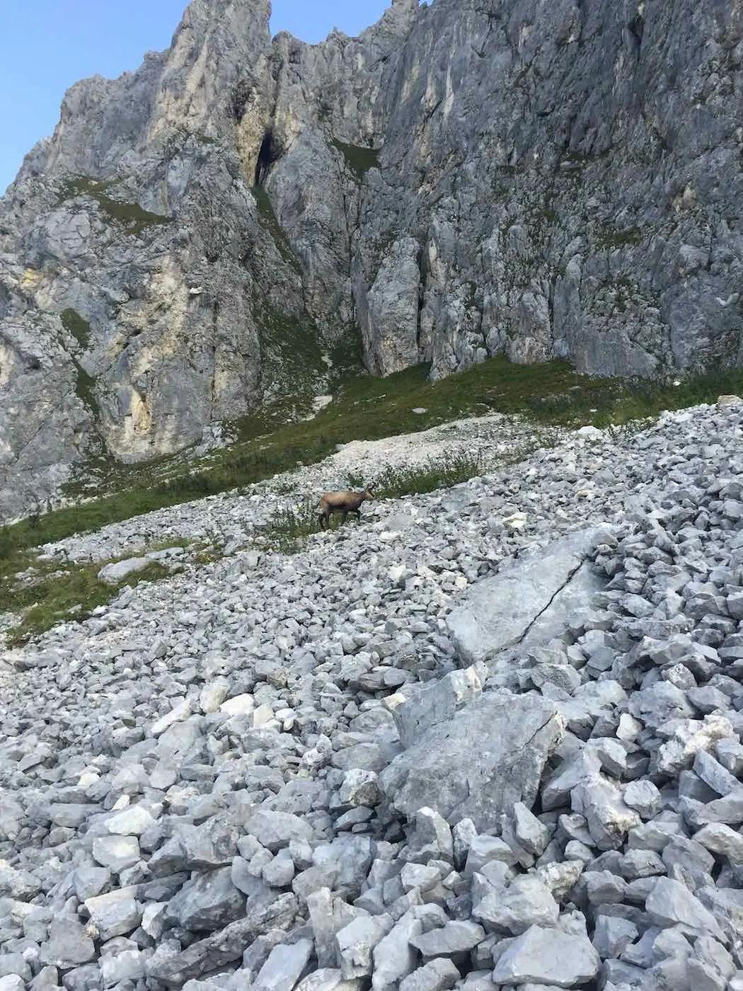Gemse unterhalb der Gimpelwand