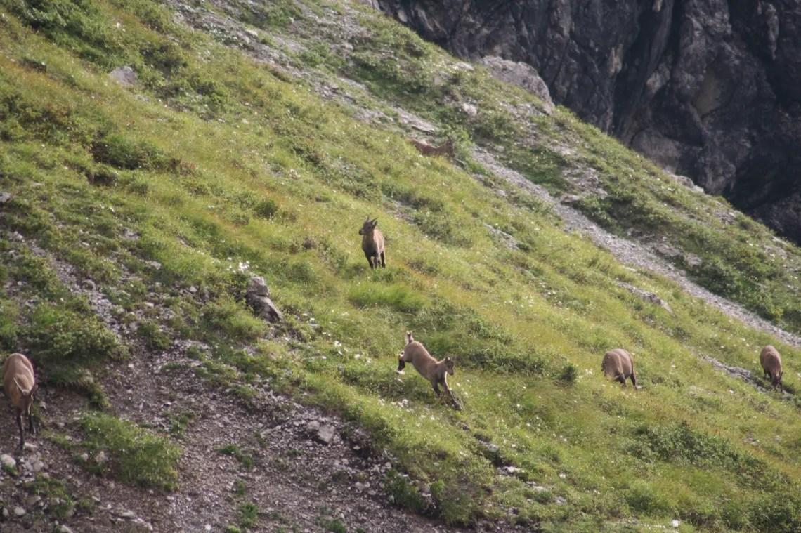 Junge Steinböcke beim Abstieg zur Fluchtalpe