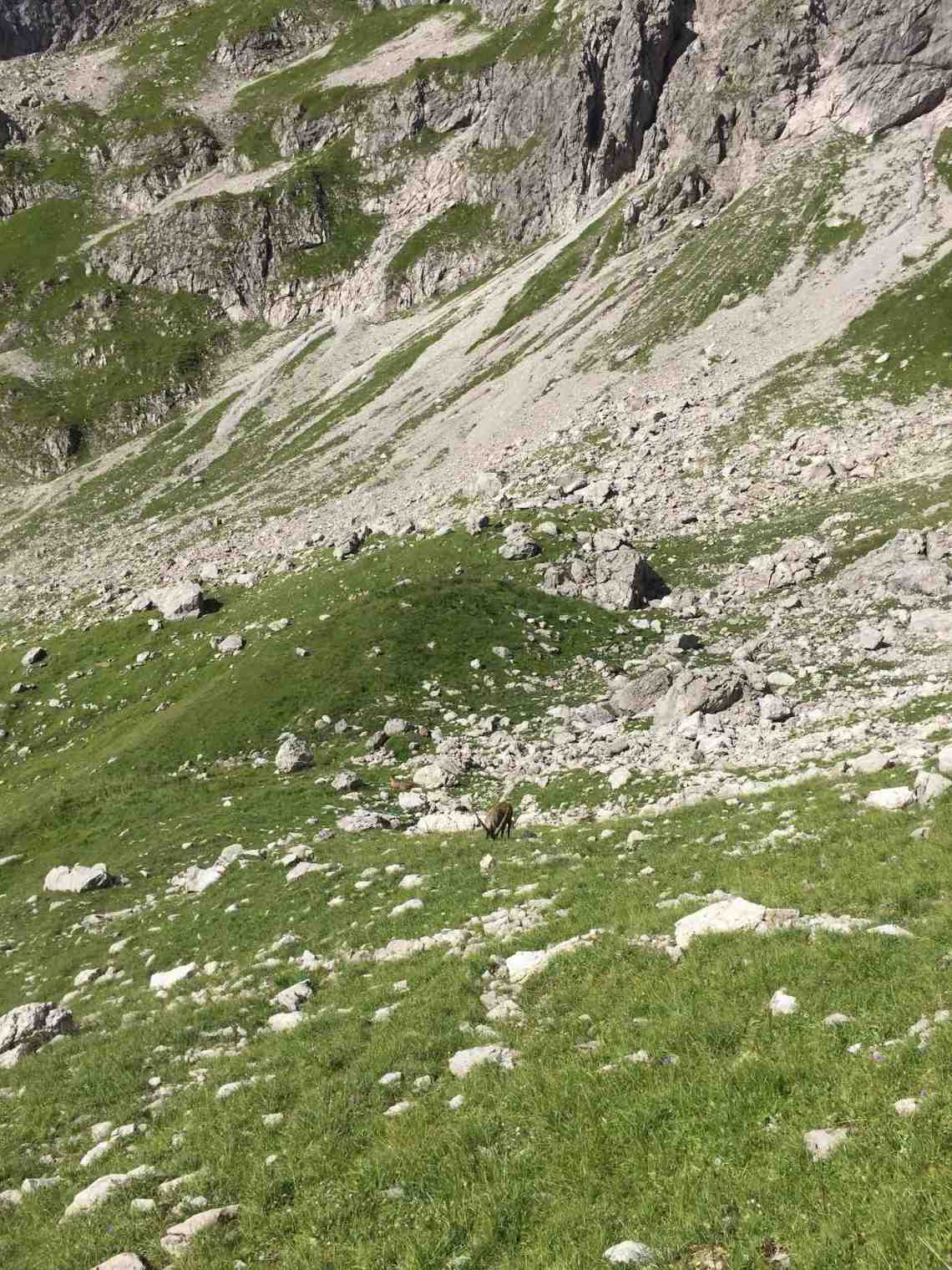 Steinbock beim Aufstieg zum Liechelkopf