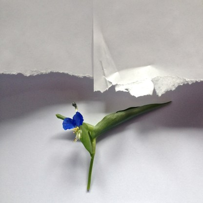 """Dayflower - It Blooms But a Morning"" by Gary Bergel"