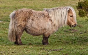 Shetland Pony. Photo via nl.wikipedia.com