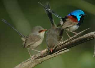 Fairy wrens teach their offspring a
