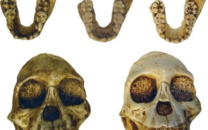 Australopithecus skulls and jawbones, found in Ethiopia, are among the fossils in HERC's collection. Credit: HERC.