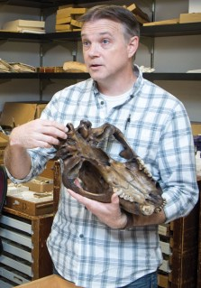 Eric Holt displays the base of the fossilized skull of an American lion (Panthera atrox), which went extinct at the end of the Pleistocene. Credit: Kevin Ho Nguyen