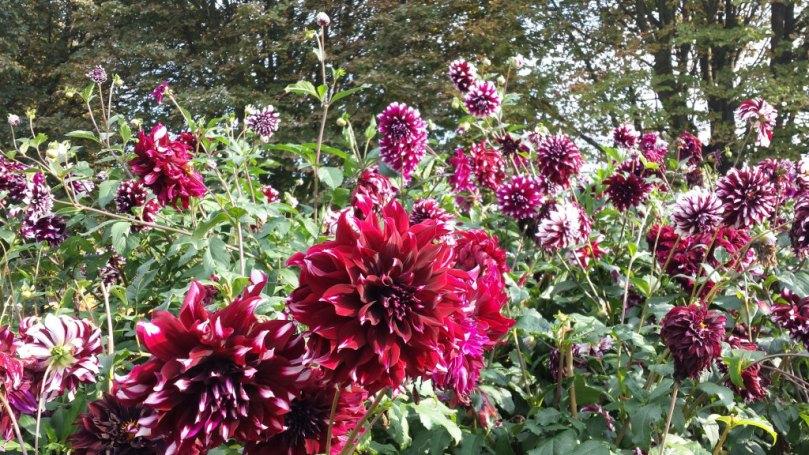 Dahlier i Britzer Garten