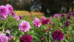 Dahler i Britzer Garten 2014