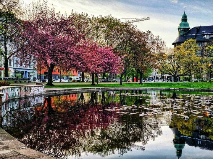 cherry blossoms in berlin