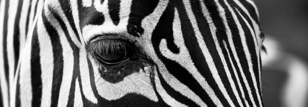 zebra, ©igorowitsch, https://pixabay.com/it/photos/zebra-stripes-in-bianco-e-nero-630149/