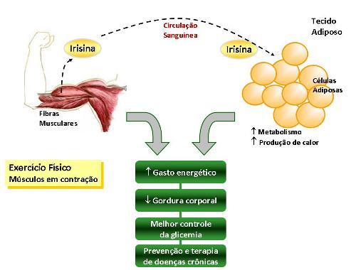 Irisina combate perda de memória - bernadetealves.com