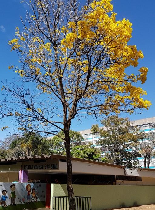 Ipê amarelo, eleva o astral dos brasilienses