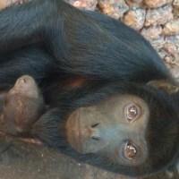 Filhote de bugio-de-mãos-ruivas nasce no Zoo de Brasília