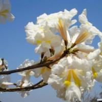 Dia da Árvore: a mensagem de paz e esperança das flores dos ipês