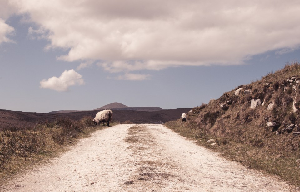 Sheep grazing on Achill island, picture for Ireland Calling