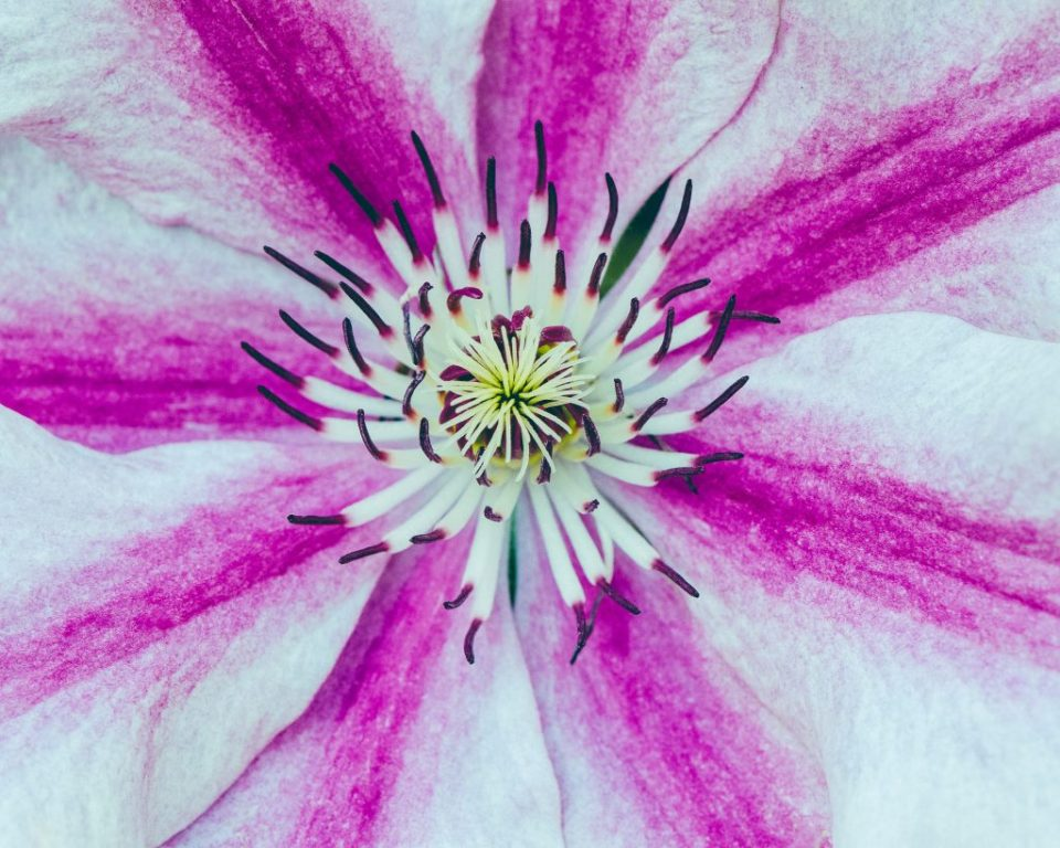 Pink flower, showing photography composition#1: Fill the Frame