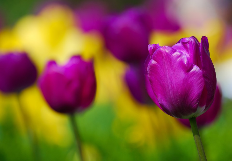 Purple tulips growing outside. Bernie Delaney Photography.