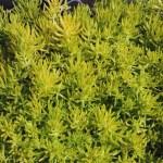 Lemon Coral