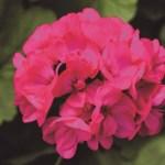 Deep Rose