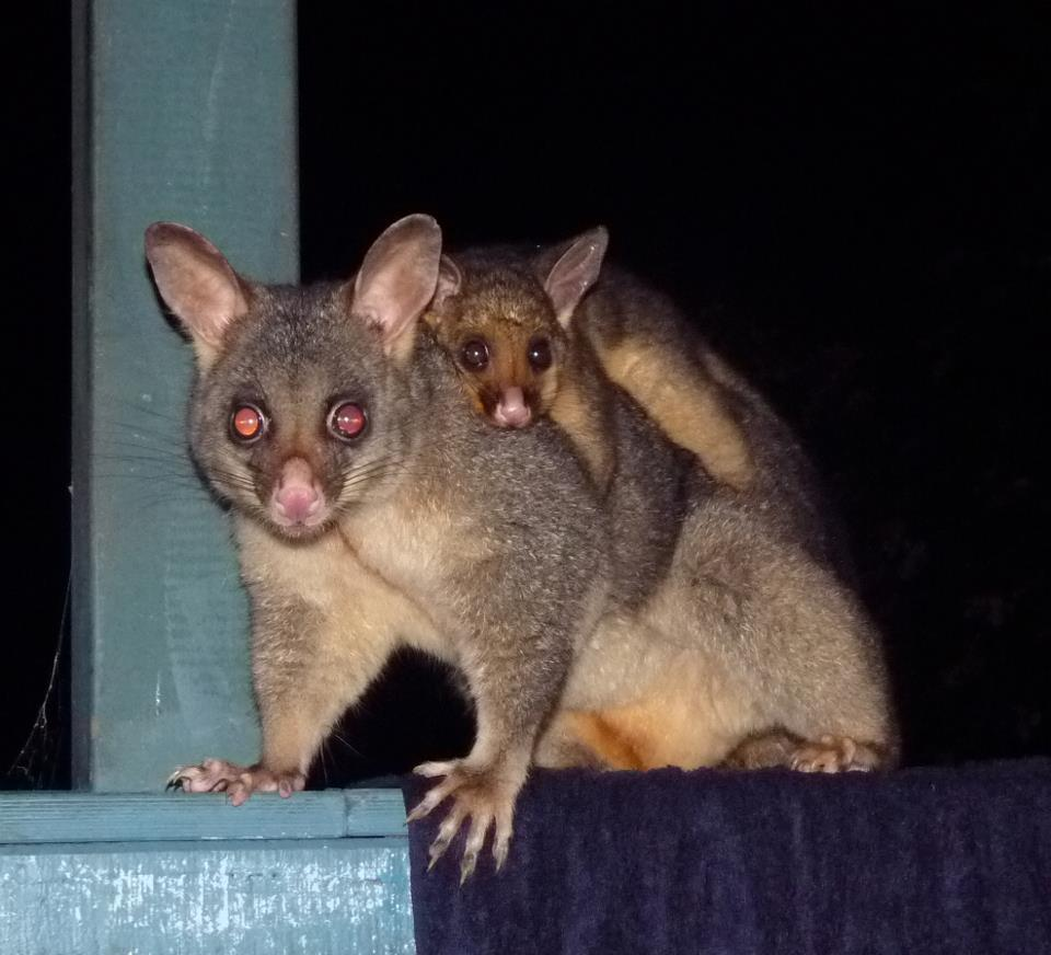 possums | Berowra backyard
