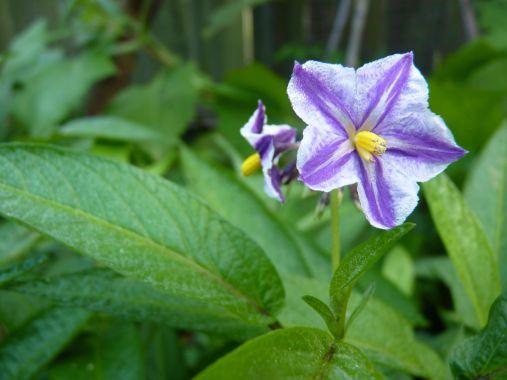 Pepino flowers