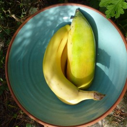 Nearly ripe babaco with a banana for scale