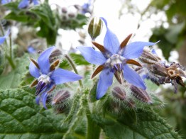 Borage: a salad climax community