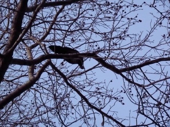 Brushturkey in liquidambar