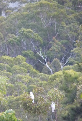 Cockies in the gum tree distant crop