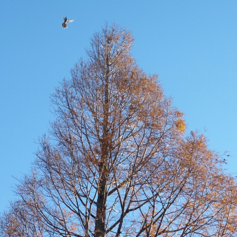 Late autumn sequoia with bird enlarged 2