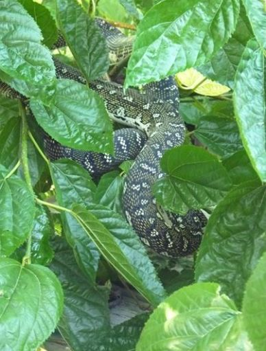 mulberry bush and snakey