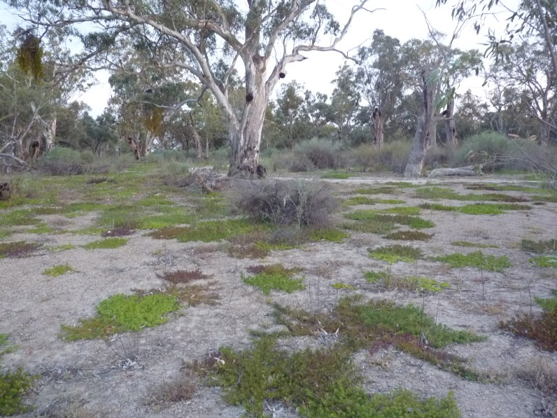 Myoporum parvifolium and river red gum