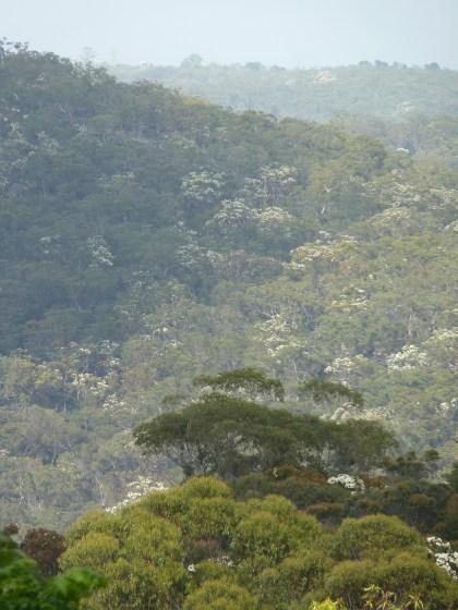 Angophora costata in Berowra Valley National Parkbloom in Berowra