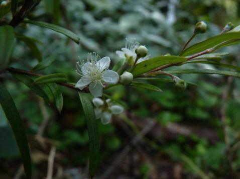 Australomyrtus dulcis flowers - teeny